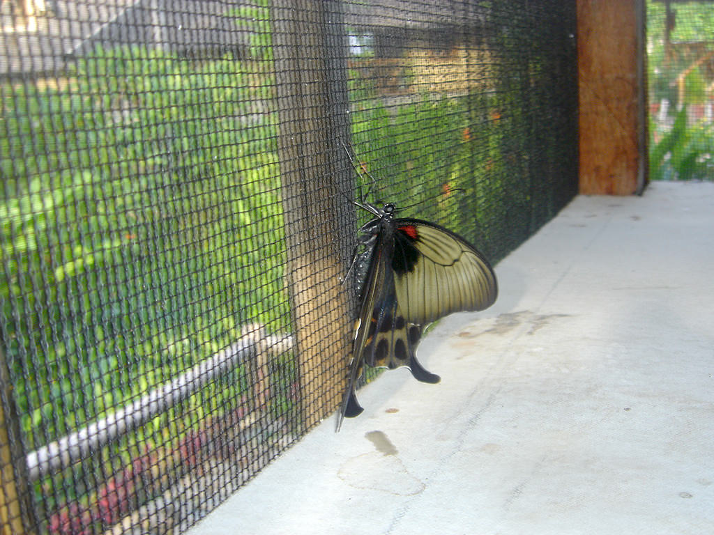 Black and tan butterfly at Puerto Beach Resort Butterfly Garden