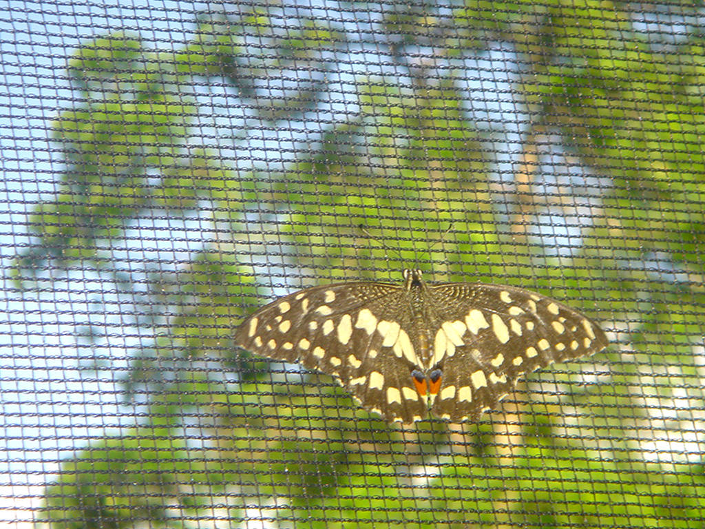 Brown butterfly with yellow markings at Puerto Beach Resort\'s Butterfly Garden