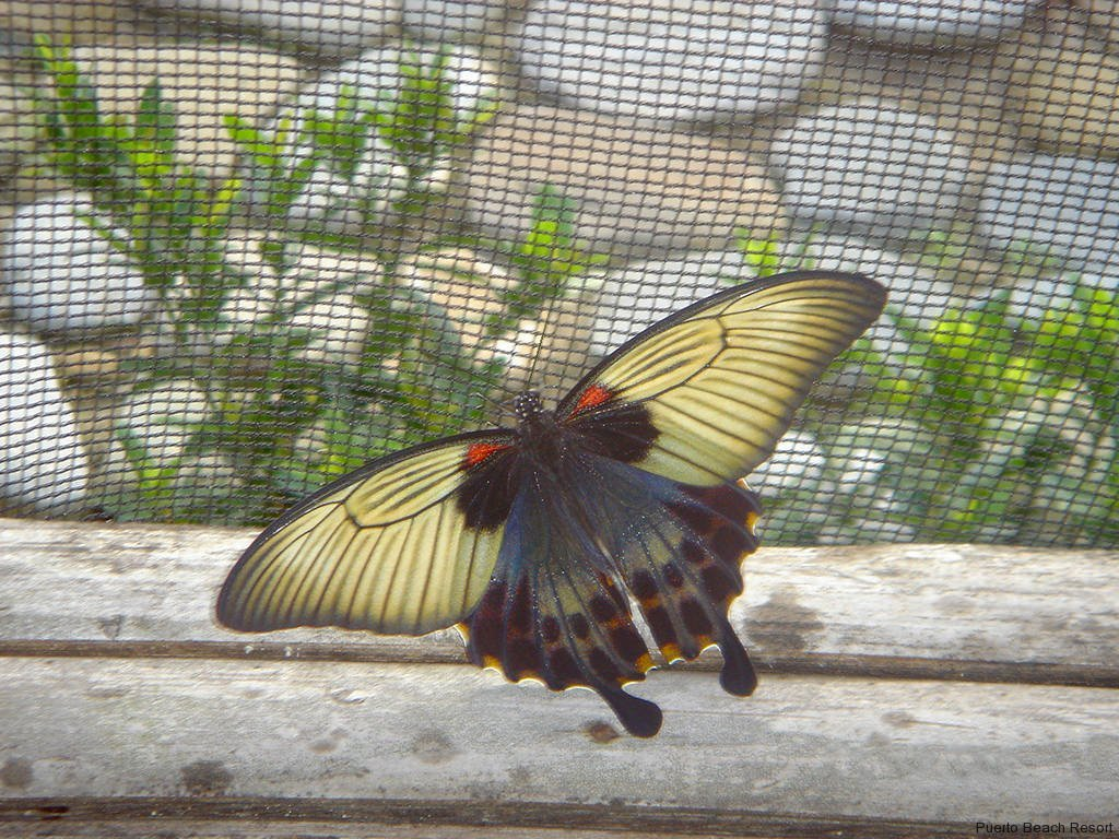 Large black-and-tan butterfly shows its beauty in the Puerto Beach Resort Butterfly Garden