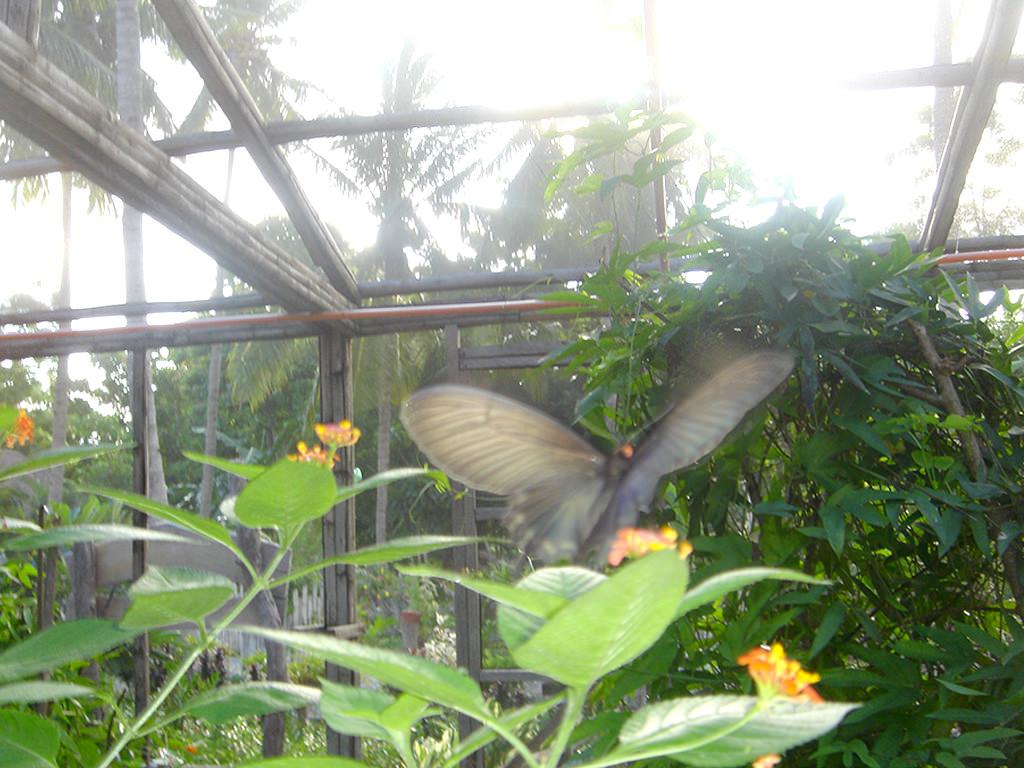 Captured in flight, a butterfly flits around at Puerto Beach Resort\'s Butterfly Garden