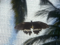 Black butterfly with white markings at Puerto Beach Resort\'s Butterfly Garden