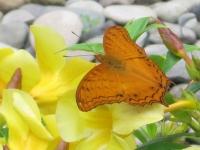 Orange butterfly alights on yellow flowers at Puerto Beach Resort\'s Butterfly Garden