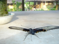 Dark butterfly explores surfaces at Puerto Beach Resort\'s Butterfly Garden, cottages in background