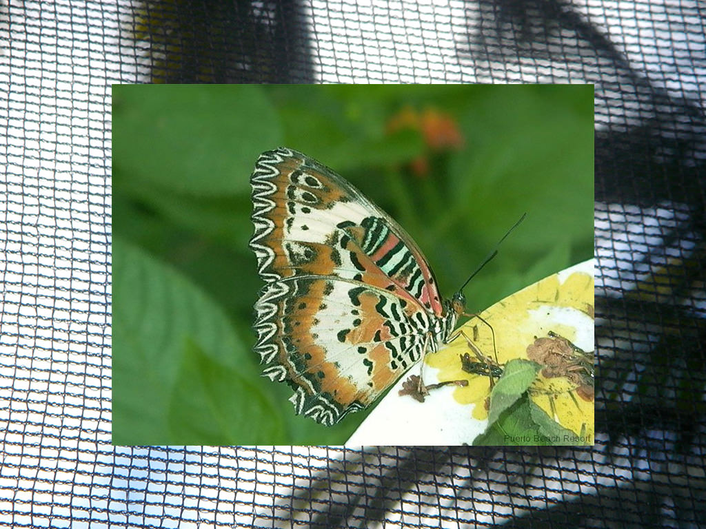Unusual tricolor butterfly at Puerto Beach Resort Butterfly Garden